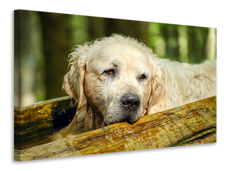 Canvas print Golden Retriever in nature